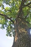Oak Royalty Free Stock Photography