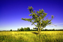 Oak On Field Royalty Free Stock Photography