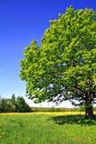 Oak On Field Royalty Free Stock Photo
