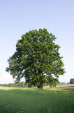 Oak On Summer Meadow Royalty Free Stock Images