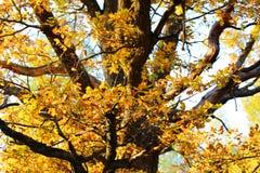 Oak part Stock Photography