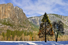Oak and Pine,  Yosemite National Park Royalty Free Stock Photos