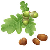 Oak plant and nuts. Part of oak branch with the fruits and nuts in the shell Stock Photos