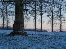 Oak Poplar and Mistletoes. An Oak-tree in front of poplars and mistletoe in the sunrise stock image
