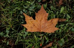 Oak is preparing for the winter. Oak leaf spring will become food for other various new plants Royalty Free Stock Photo