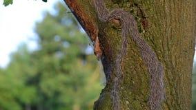 Oak processionary caterpillar stock video footage
