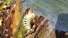 Oak processionary. Caterpillar on old oaktree Royalty Free Stock Images