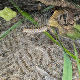 Oak processionary moth caterpillar nest. Closeup detail. Stock Photography