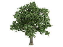 Oak_(Quercus). Rendered 3d isolated oak (Quercus stock illustration