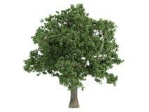 Oak_ (Quercus) Royalty-vrije Stock Afbeeldingen