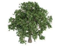 Oak_ (Quercus) Stock Foto