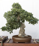 Oak (quercus) bonsai. On a wooden table and white background Royalty Free Stock Photography