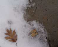 Oak & x28;Quercus& x29; Leaves in the Melting Snow. This is an image oak leaves lying on melting snow uncovered next to cold wet concrete sidewalk.   It Stock Photos