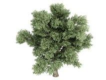 Oak (Quercus petraea). Rendered 3d isolated oak (Quercus petraea Royalty Free Stock Photography