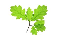 Oak (Quercus robur). Oak leaves isolated against a white background (Quercus robur Stock Photo