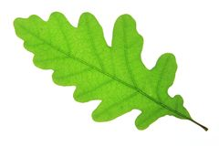 Oak (Quercus robur). Single oak leaf isolated against a white background (Quercus robur Royalty Free Stock Photos