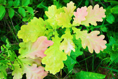 Oak Quercus sapling growing in the forest underbrush. Young oak tree foliage top view. Royalty Free Stock Images