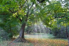 Oak in a rays of sun stock photography