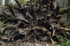 Oak root from below. Royalty Free Stock Photography