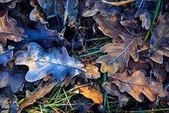 Oak's autum leafage on frozen grass Royalty Free Stock Photos