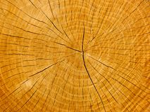 An oak's cross-section Stock Photo