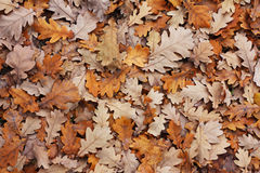 Oak's leafs. A lot of oak's leafs in a autumn park Royalty Free Stock Images