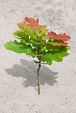 Oak sapling. Growing in the desert Royalty Free Stock Images