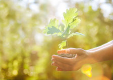 Oak sapling in hands Stock Images