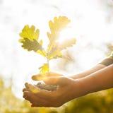Oak sapling in hands Stock Image