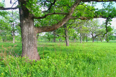 Oak Savanna in Illinois. Beautiful oak savanna at Oak Ridge Forest Preserve in Illinois Royalty Free Stock Photo