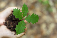 Oak seedling Stock Image
