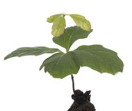 Oak seedling Stock Images