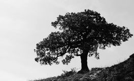 Oak silhouette stock images