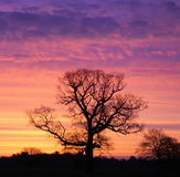 Oak silhouette. Beautiful mornings sunrise over showing this oak silhouette against the dawn colours Royalty Free Stock Photography