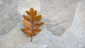 Oak single autumn leaf on the stone. Autumn leaves background on the stone Royalty Free Stock Photography