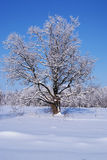 Oak in snow winter Stock Image