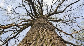 Oak in spring. Bottom-up view. Royalty Free Stock Photography