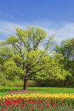 Oak in spring park Royalty Free Stock Photo