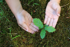 Oak sprout in children hands Stock Photography