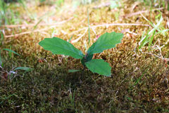 Oak sprout grown up  in a lawn Royalty Free Stock Photo