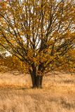 The oak stands on a meadow in autumn dress stock photos