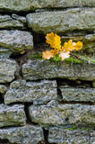 Oak stick with wet leaves lying on mossy limestone wall Stock Photography