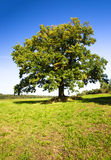 Oak (summer) Stock Photos