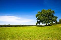 Oak (summer) Stock Images