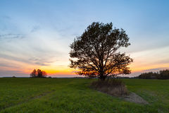 Oak at sunset Royalty Free Stock Images