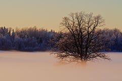 Oak in sunset Royalty Free Stock Photo