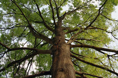 oak tall Στοκ εικόνα με δικαίωμα ελεύθερης χρήσης