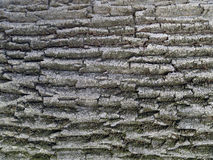 Oak. The texture of the bark of Slavonian oak Royalty Free Stock Image