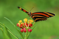 Oak Tiger Butterfly stock photos