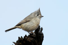 Oak Titmouse Stock Photo